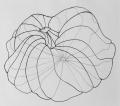 Squash free hand drawing